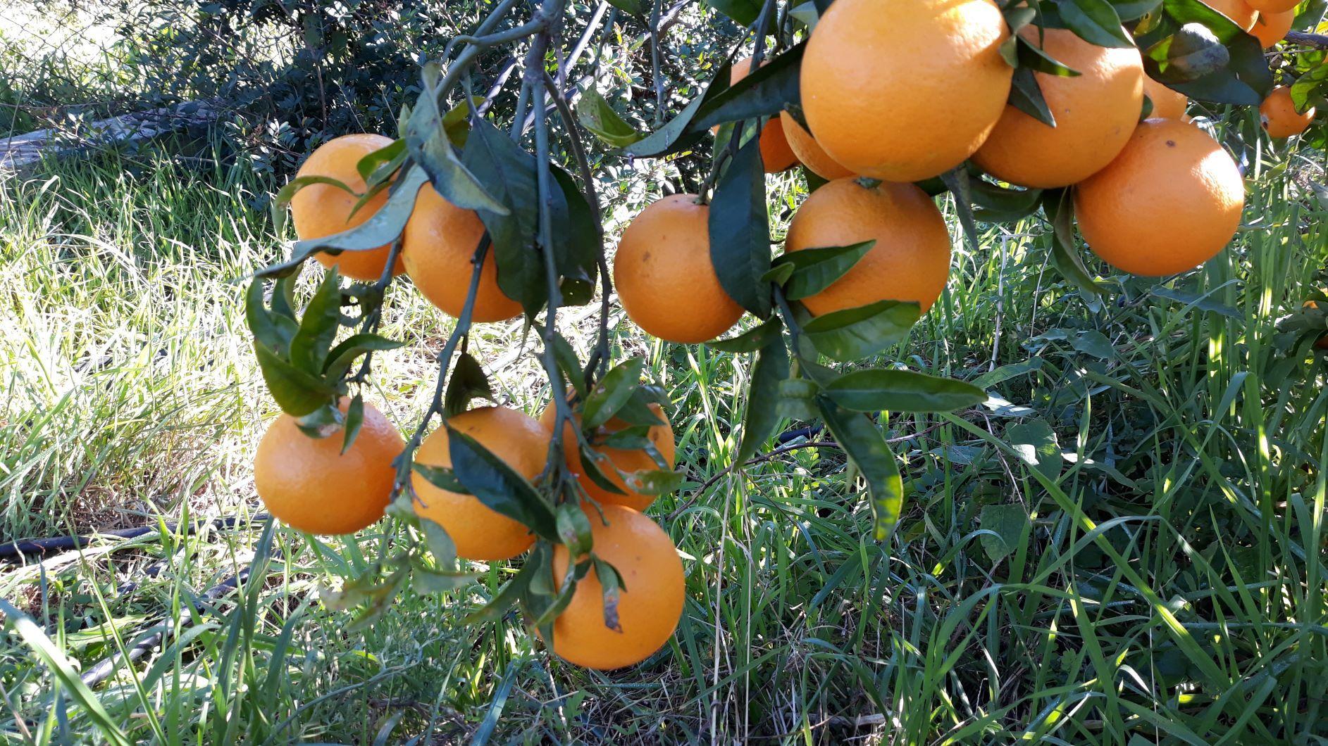 taronges en rama-web